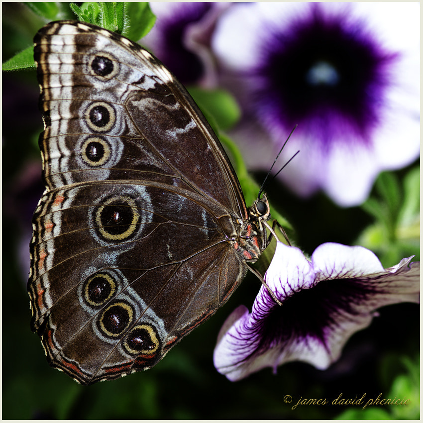 Butterfly Series:  Common Blue Morpho #3