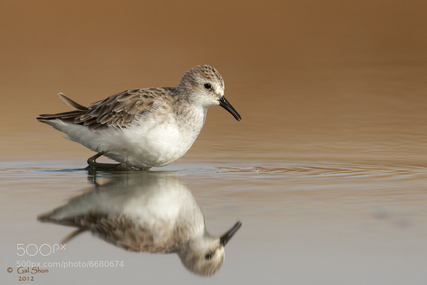 Photograph Little Stint by Gal Shon on 500px