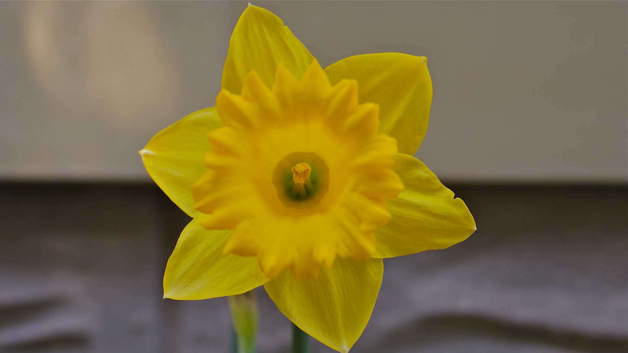 Photograph Daffodil Profile  by Zack Parton on 500px
