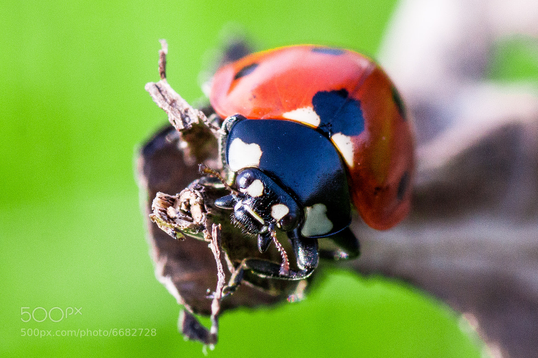 Photograph Ladybug by Mohamed Khalil El Mahrsi on 500px