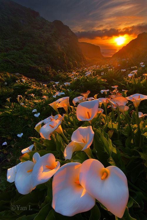 Photograph Calla Lily Valley by Yan L on 500px