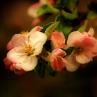 Постер, плакат: Blossoms of apple tree