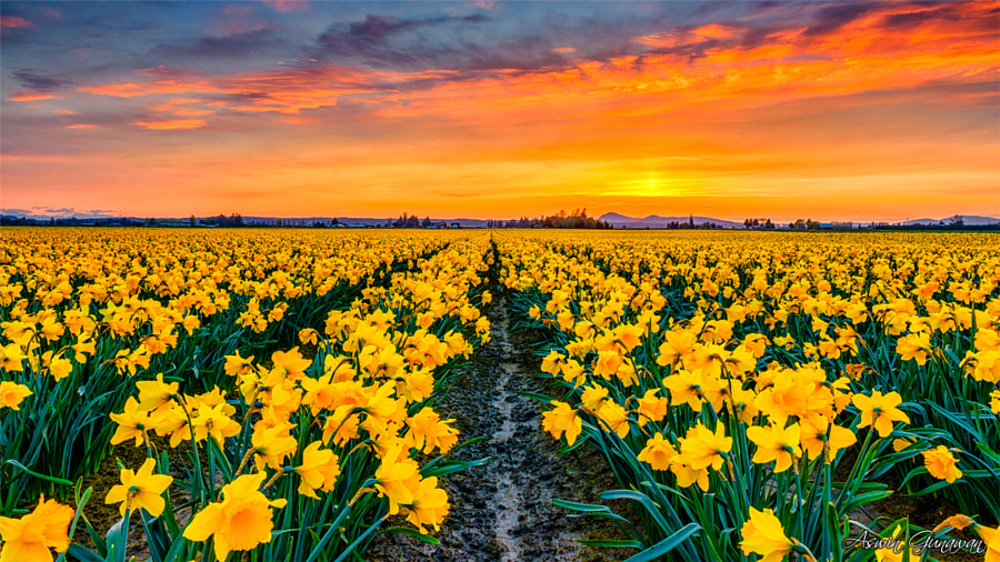 When Daffodils Bloomed and The Sky Burned by Aswin Gunawan on 500px.com