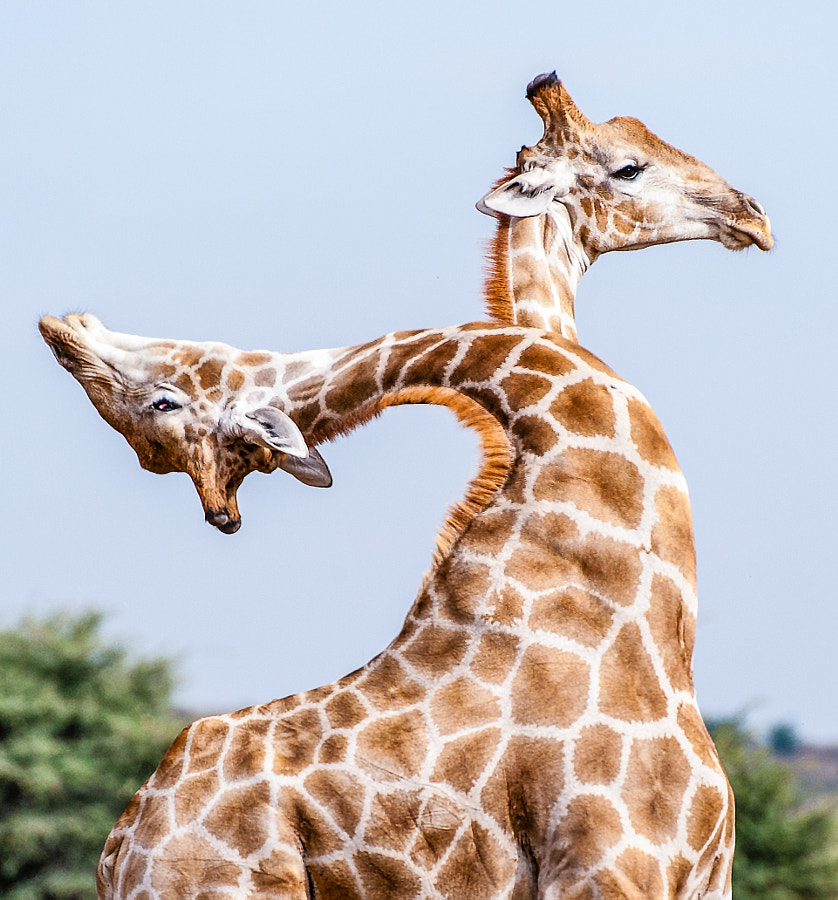 The amazing two-headed Giraffe by Denis Roschlau on 500px.com