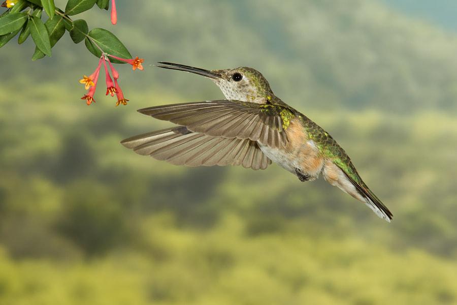 Broad billed hummingbird (female)