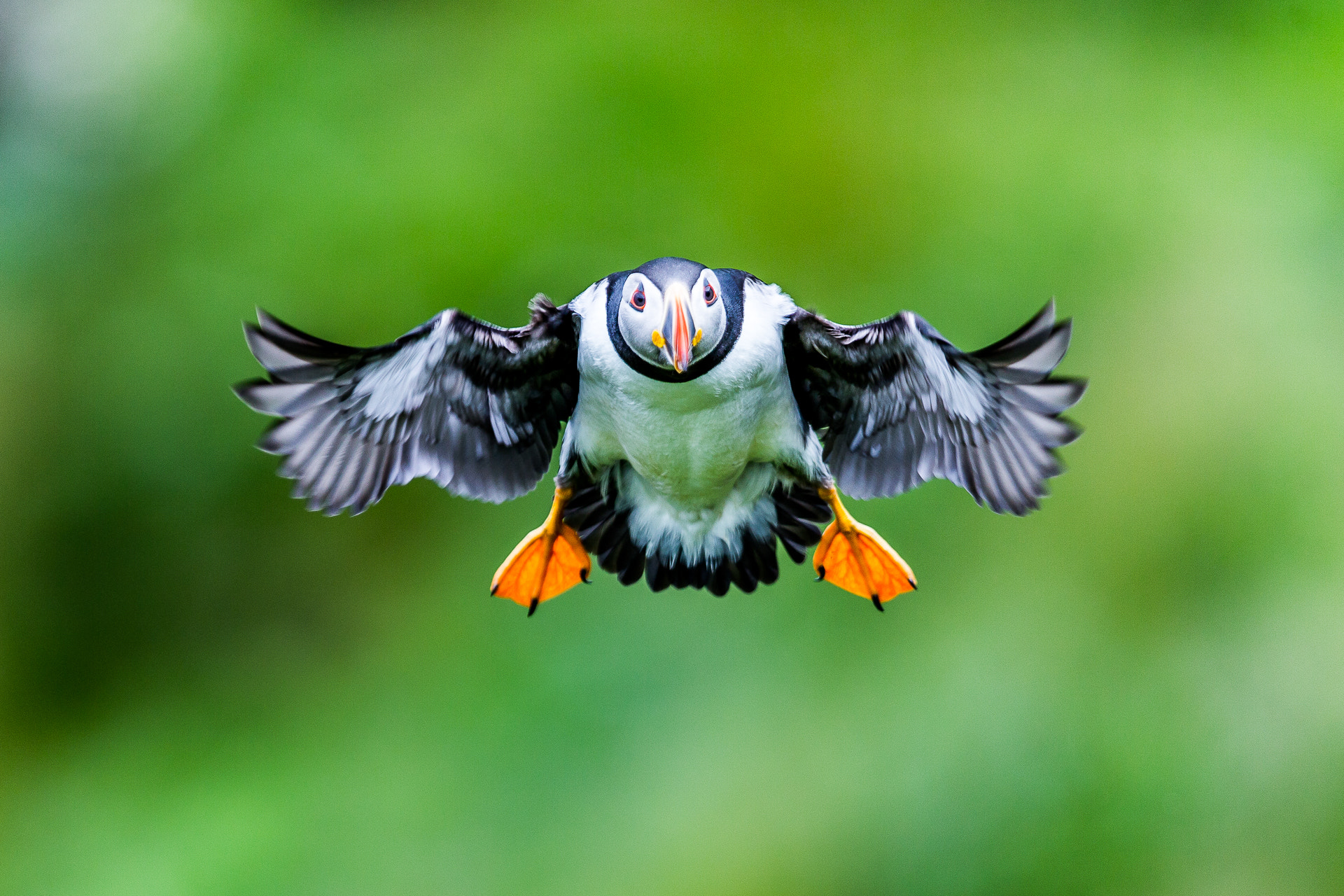 Photograph Atlantic puffin by Stephane Leroy on 500px