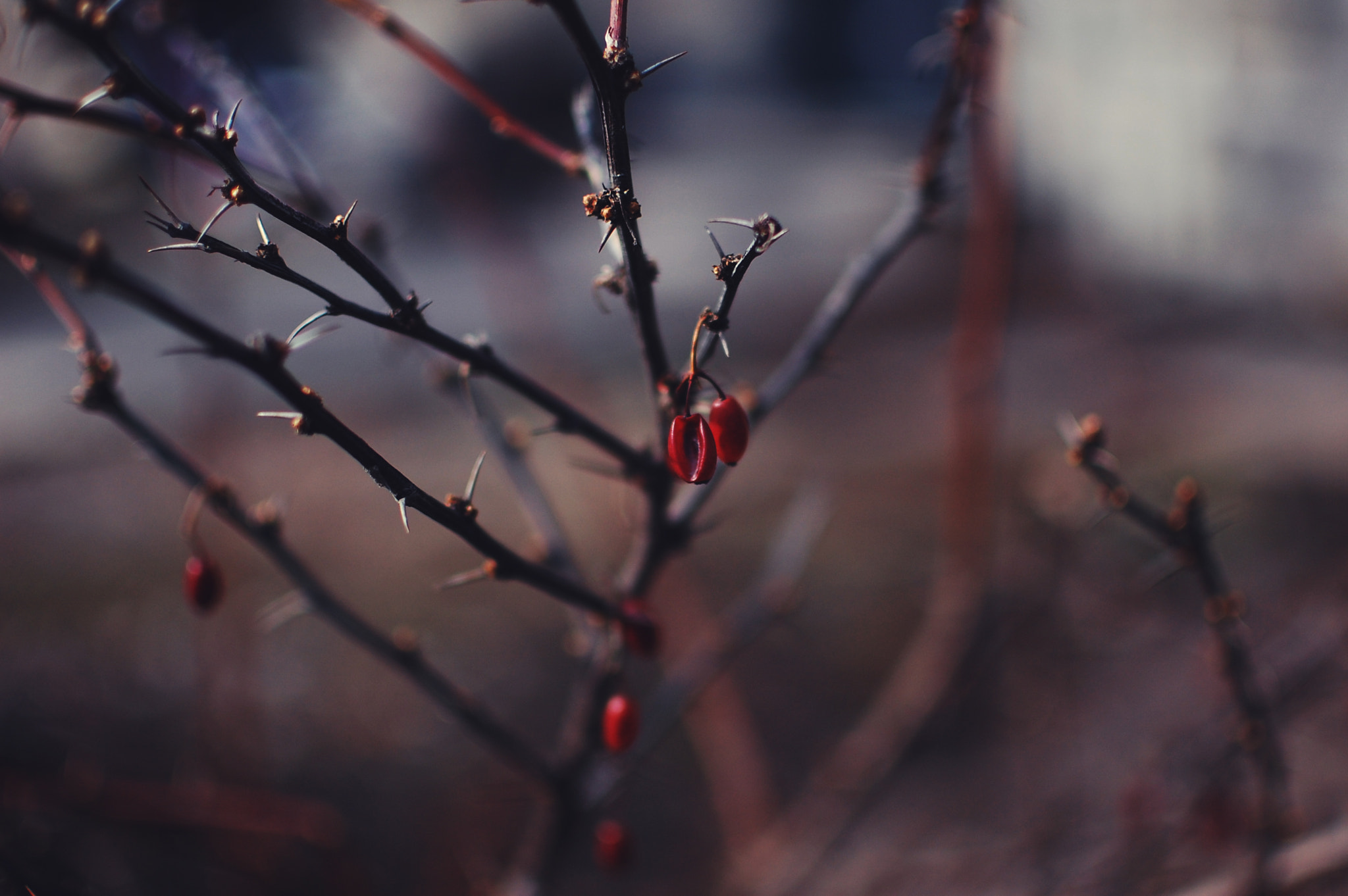 Photograph Thorns by Allana Mayer on 500px