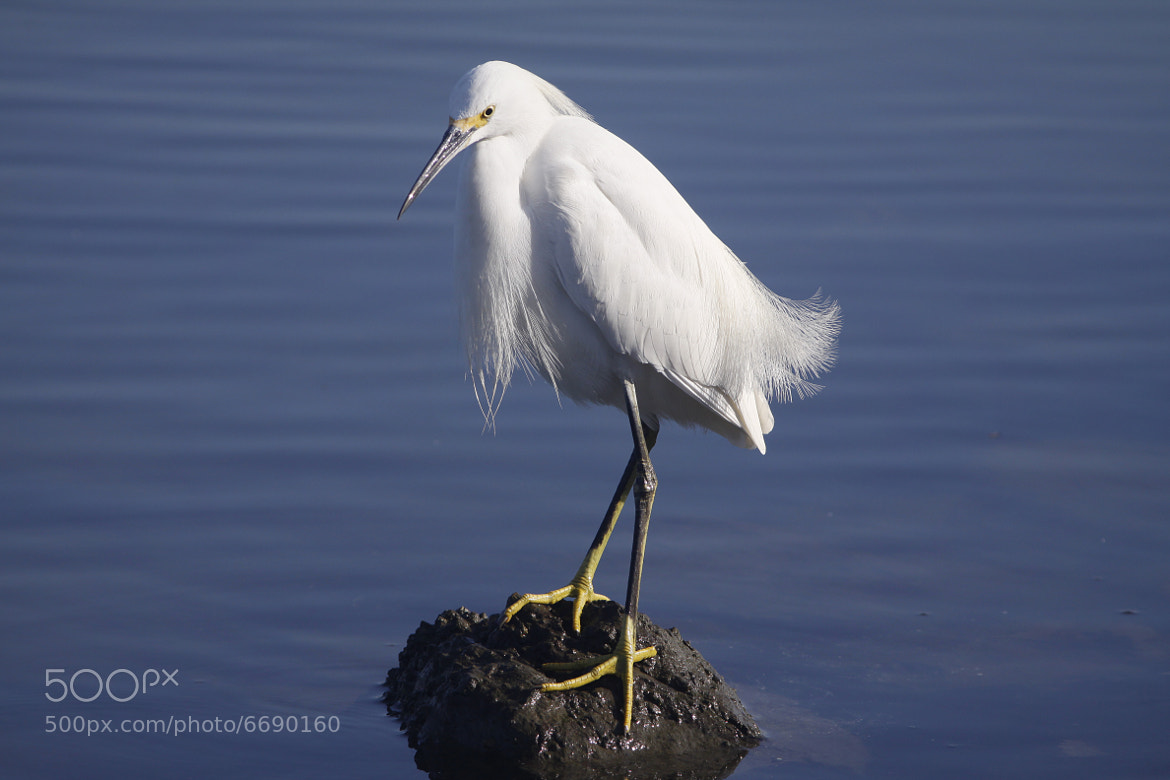 Photograph Wise Beard the Egret by Christopher Payne on 500px