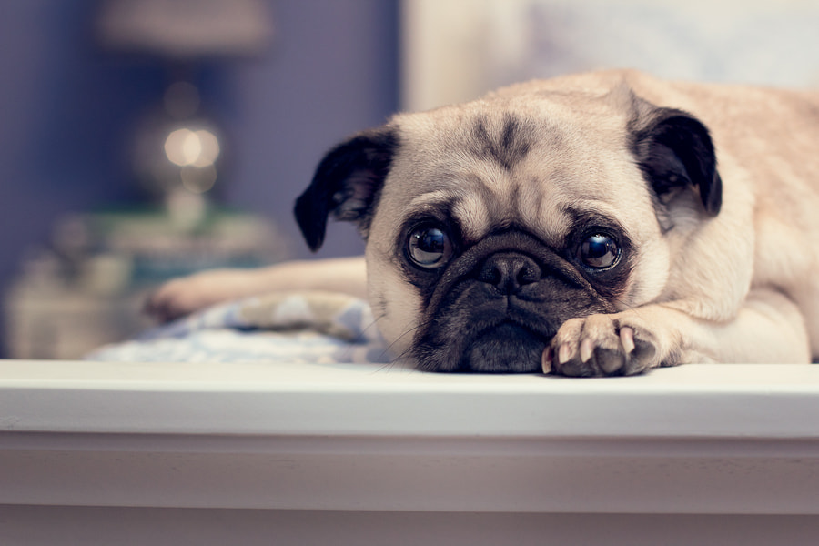 Photograph Bed Pug by Michael Streubert on 500px