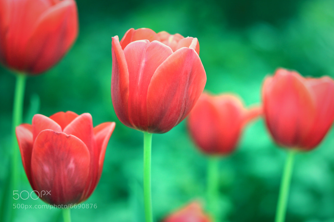 Photograph Kisses from Tulips by Joe Weakland on 500px