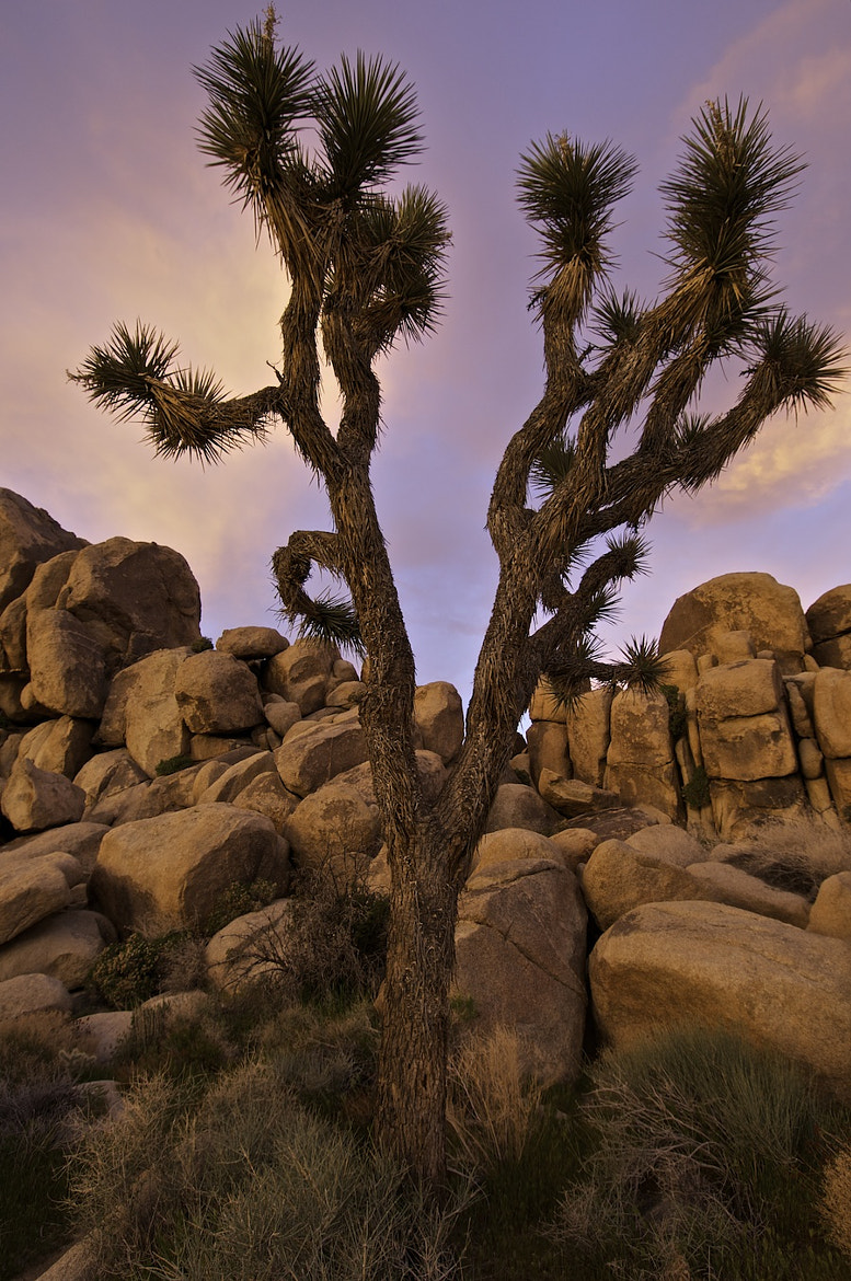 Photograph A Joshua Tree by George Gibbs on 500px