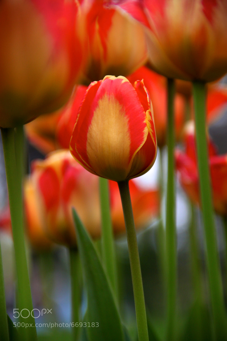 Photograph Orange/Yellow/Red Tulip by Amir Reza Afsharian on 500px