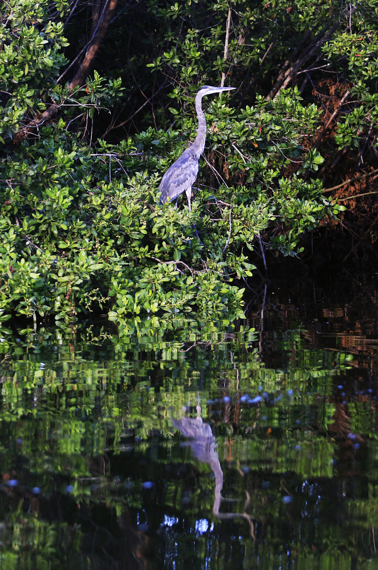 Photograph great blue heron by Cristobal Garciaferro Rubio on 500px