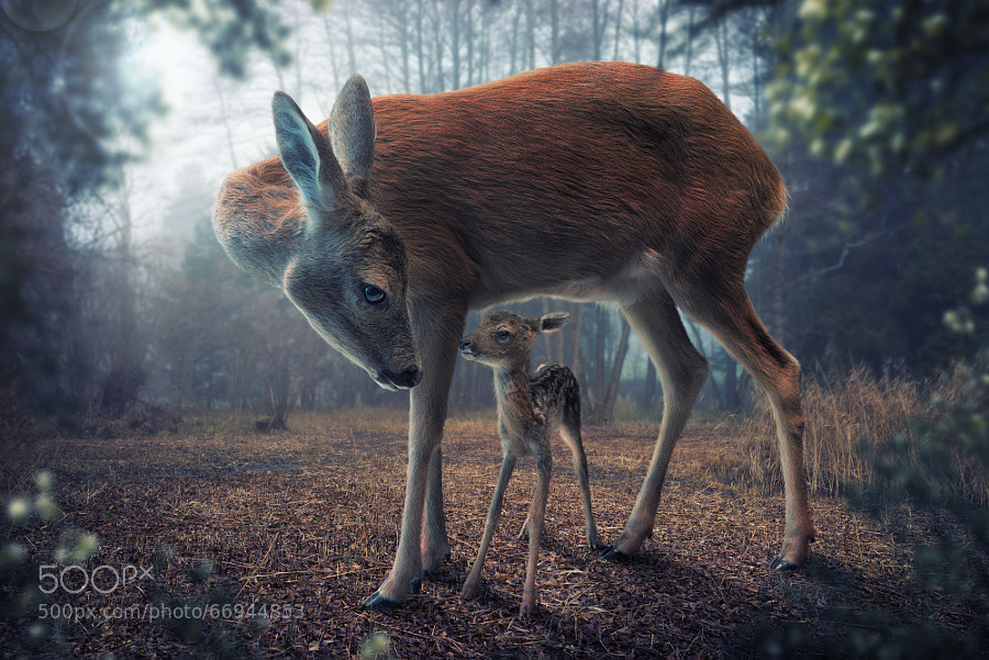 Photograph Mother and fawn by John Wilhelm on 500px