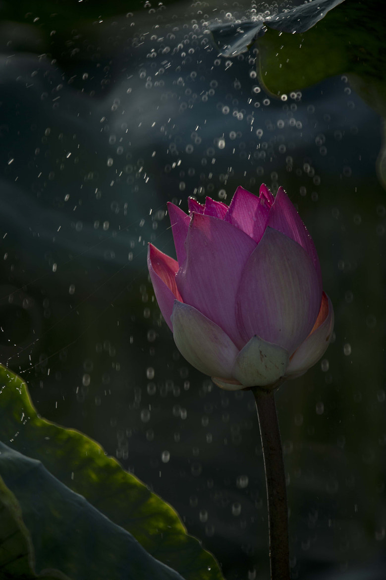 Photograph Lotus # 2 by CK NG on 500px