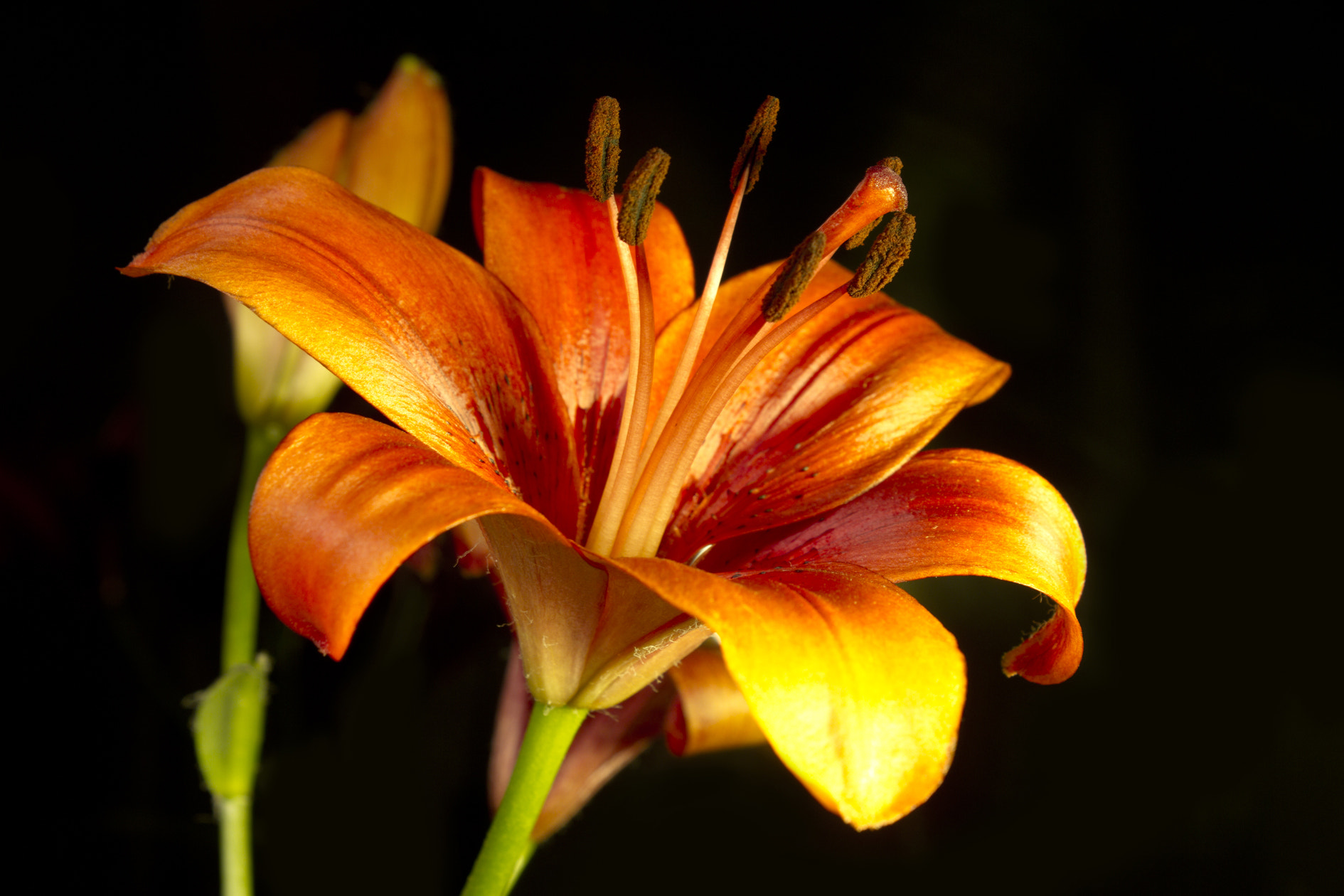 Photograph Lily Orange by anass mohamed on 500px