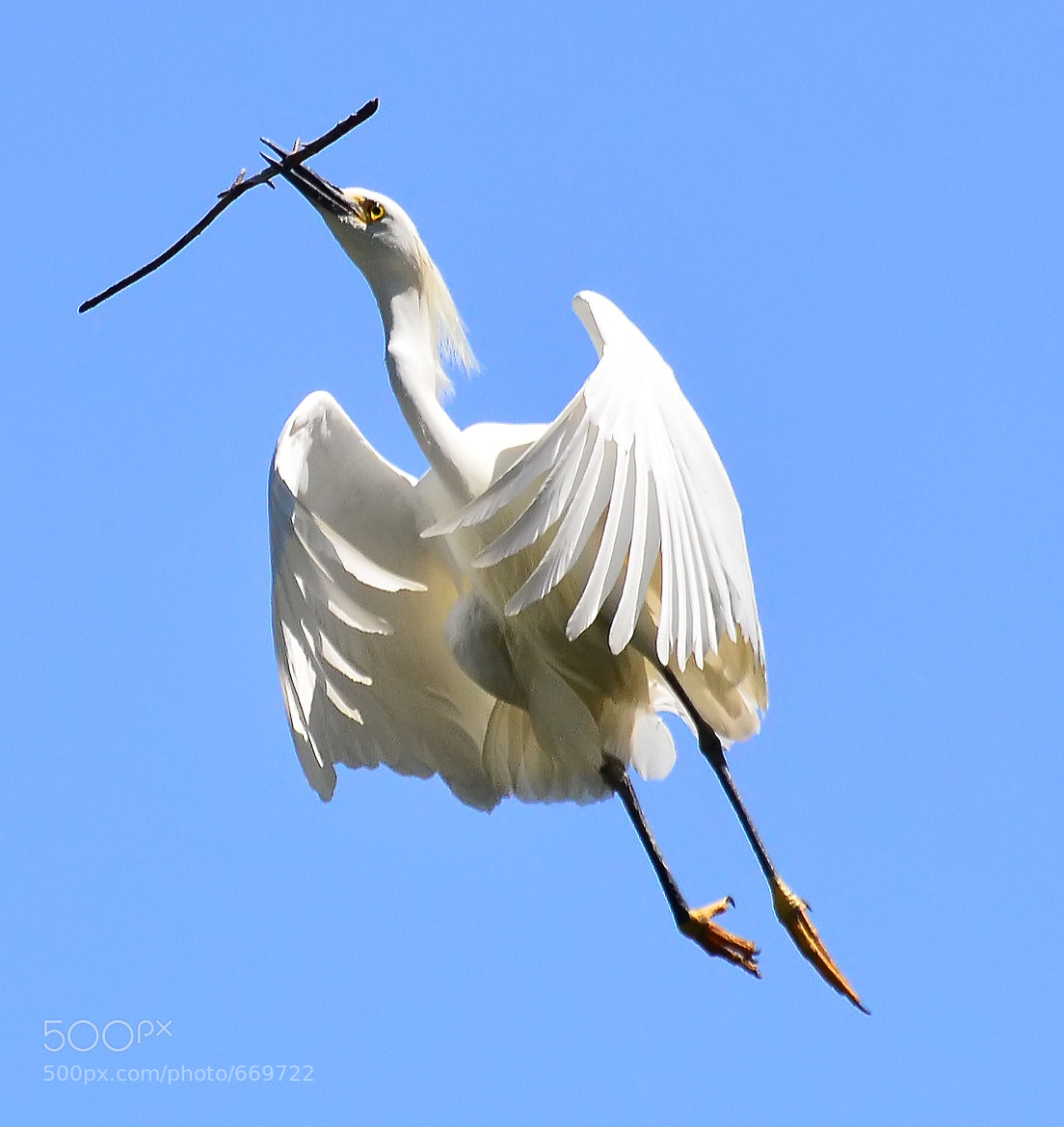 Photograph Snowy Egret in Flight by Jeff Clow on 500px