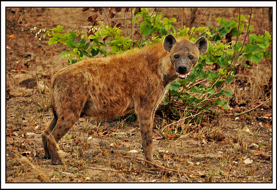 Photograph Female Spotted Hyena by Graham Turner on 500px