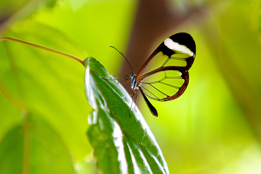 Photograph glasswing by Mark Bridger on 500px