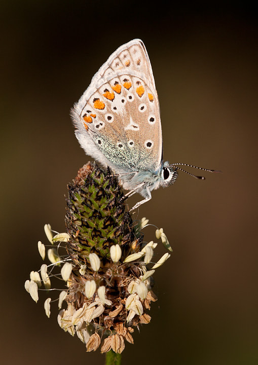 Photograph Common Blue by Lea Roberts on 500px
