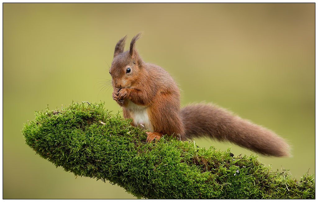 Photograph Red squirrel by John Starkey on 500px