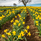 Постер, плакат: Rows of Daffodils