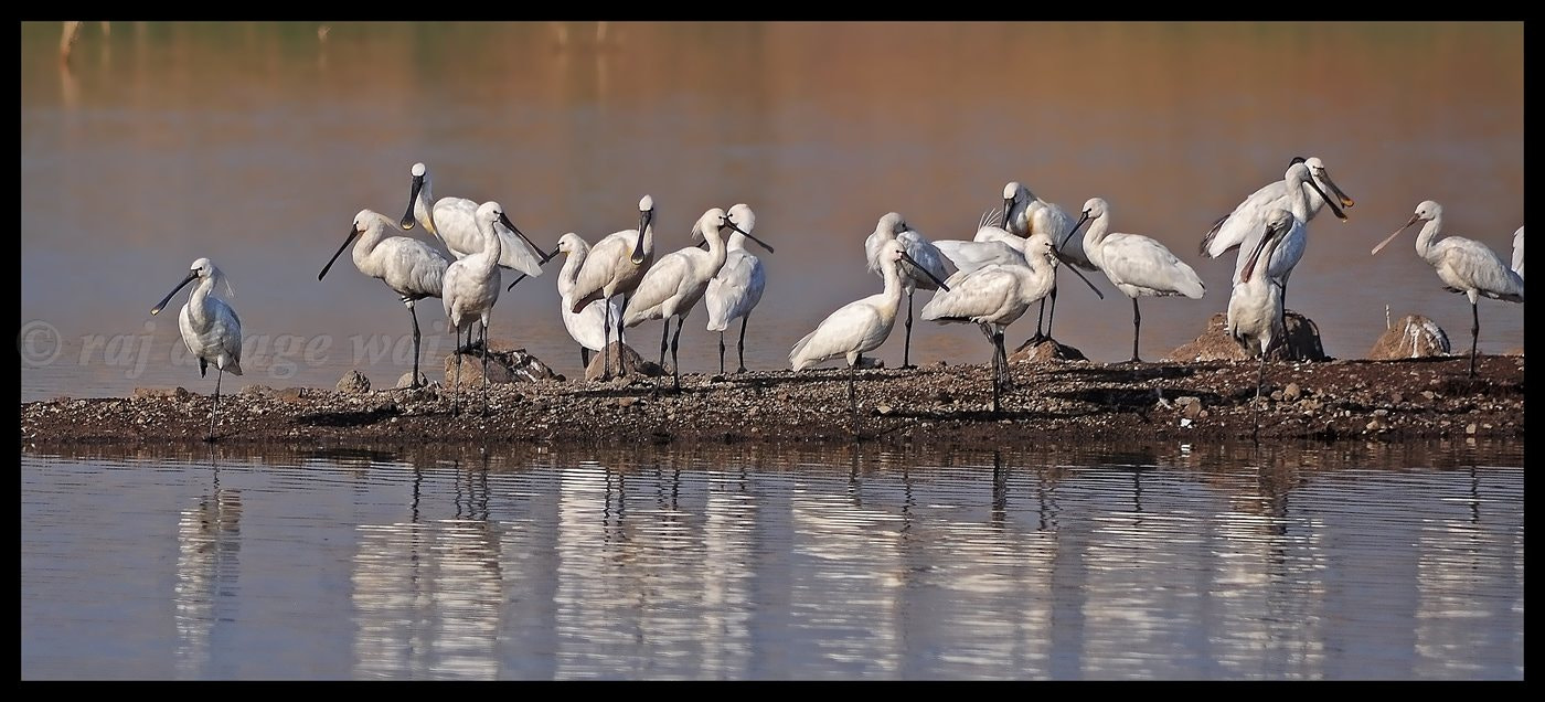 Photograph spoonbill by raj dhage on 500px