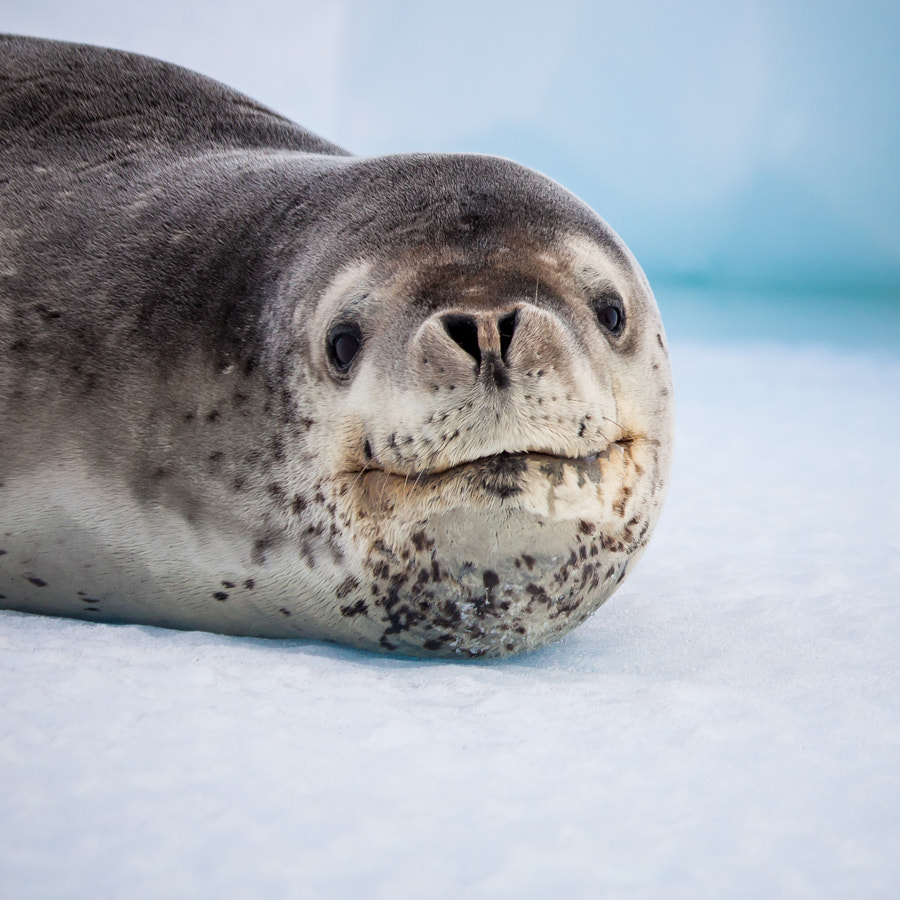 Photograph Leopard seal by Lynsey Smyth on 500px