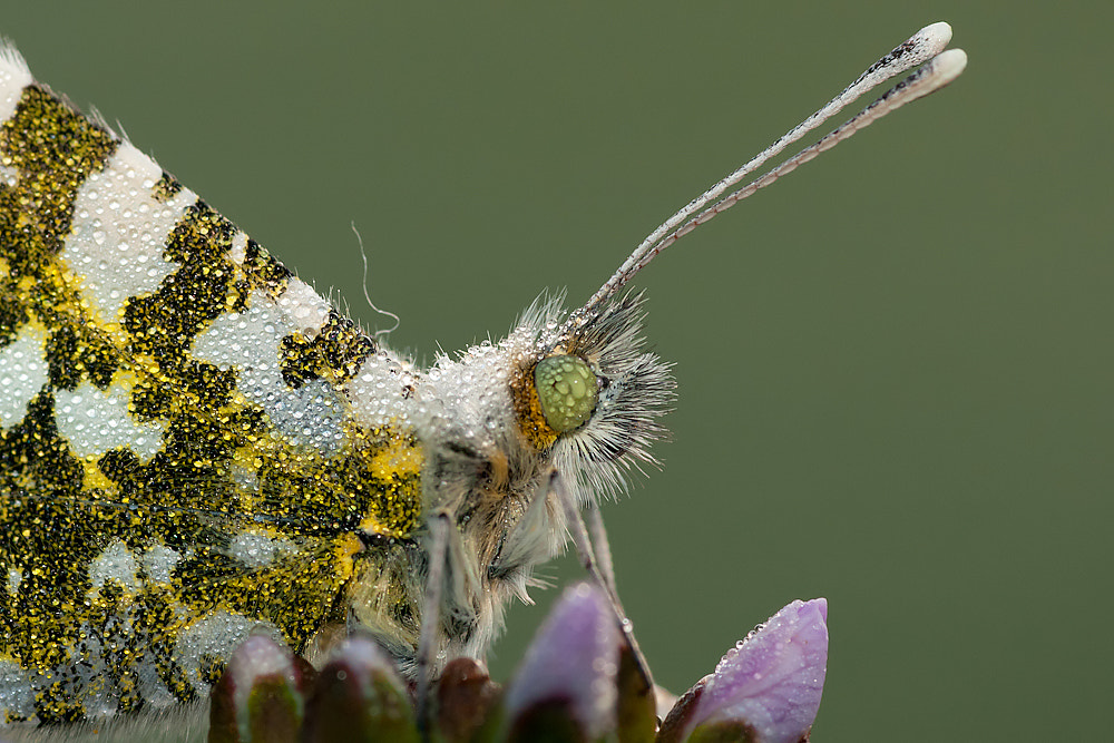 Photograph close to the orangetip by Tom  Kruissink on 500px
