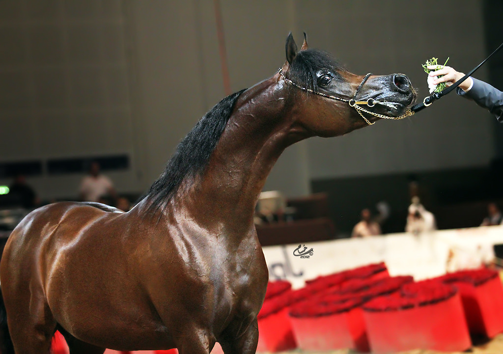 Photograph QR Marc - Gold Champion Stallion by Hussam T  on 500px