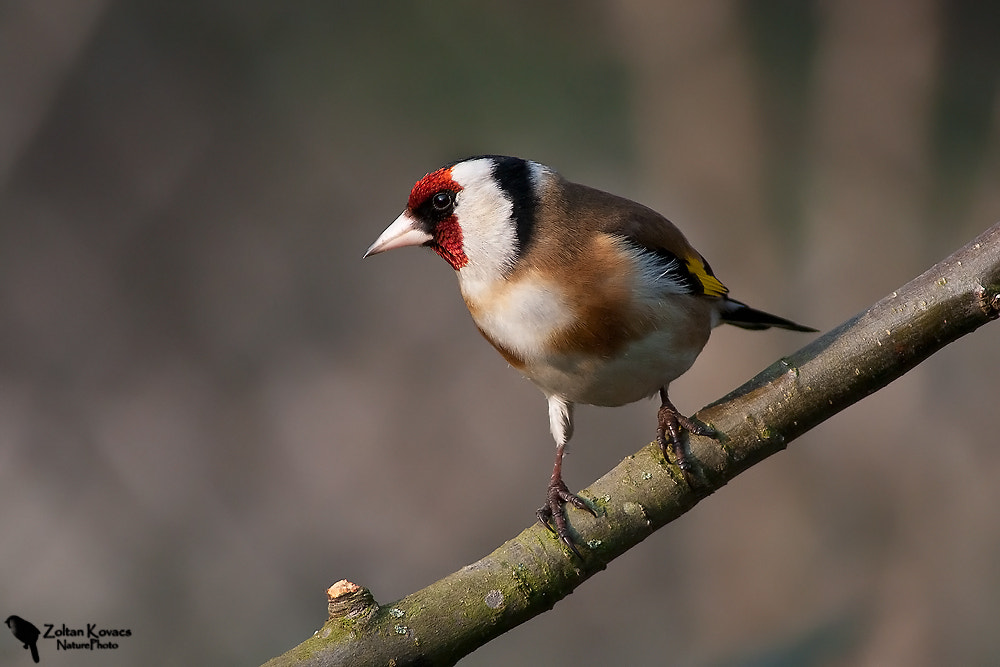 Photograph European goldfinch (Carduelis carduelis) by Zoltan Kovacs on 500px