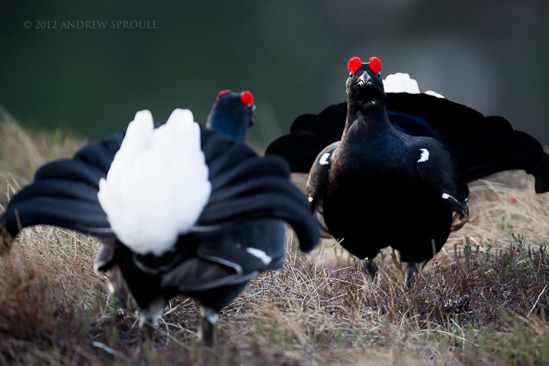 Photograph Black Grouse (Tetrao tetrix) showdown by Andrew Sproule on 500px