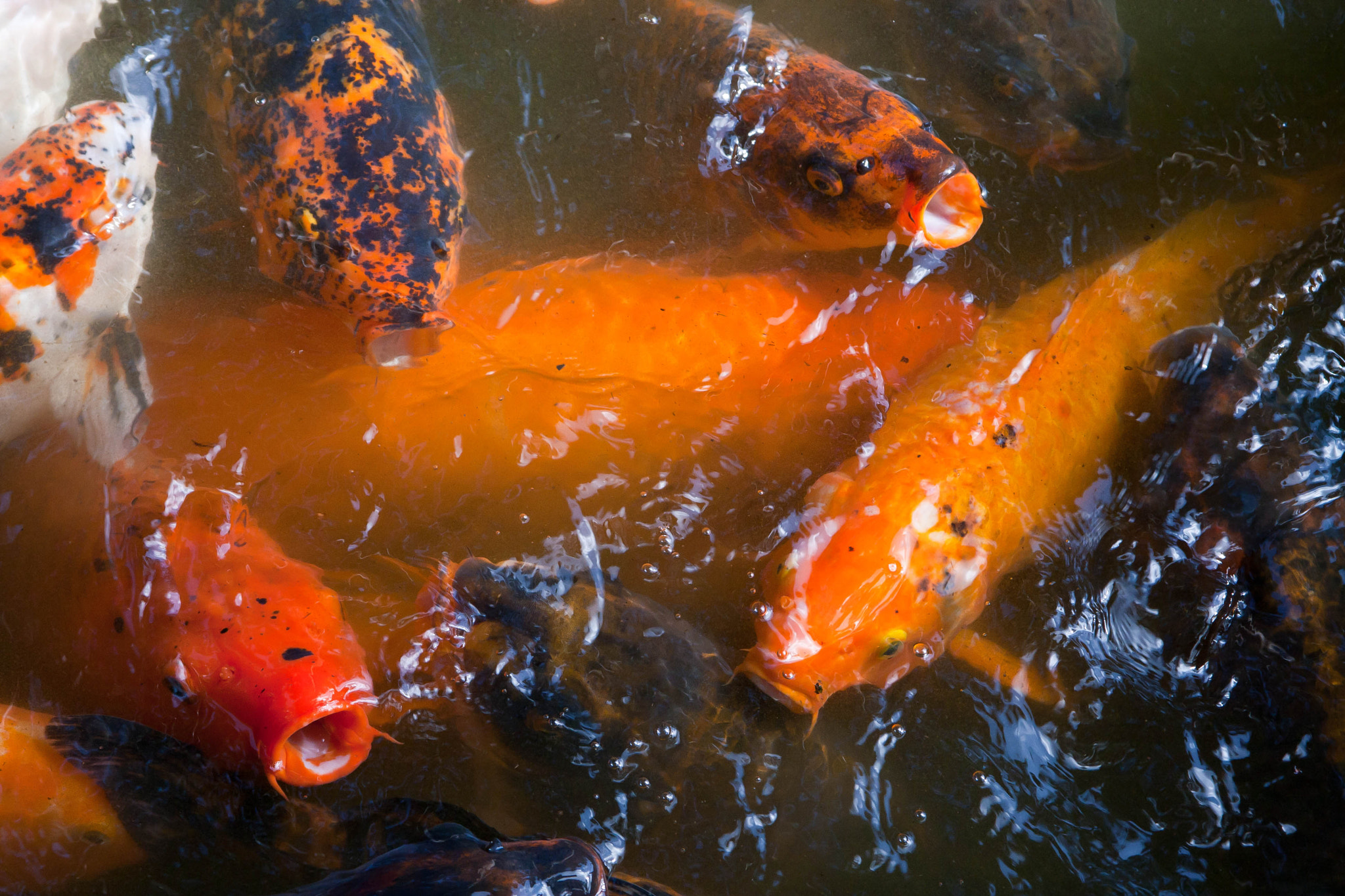 Photograph Koi at Byodo-In by Jason Wehmhoener on 500px