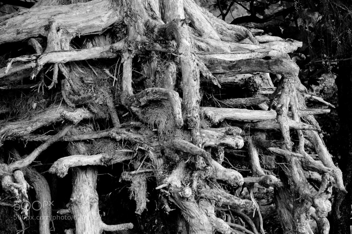 Photograph Roots on Kee Beach by Jason Wehmhoener on 500px