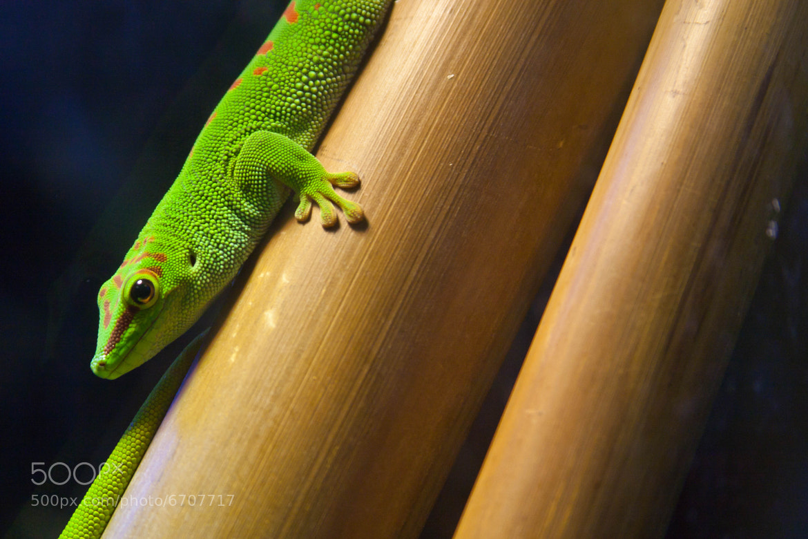 Photograph Gecko at Cal Academy of Science by Jason Wehmhoener on 500px