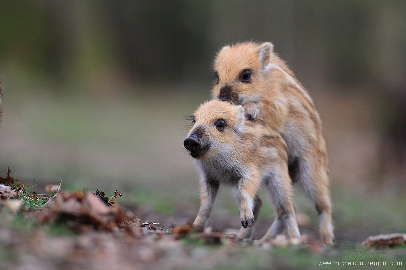 Photograph little boars  by Michel d'Oultremont on 500px