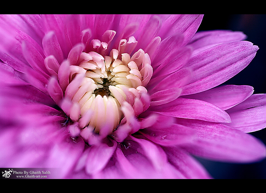 Photograph   This image has been taken In Flower Show in Baghdad  By Ghaith Salih  Cam : Canon 7D Len : 100 mm  by Ghaith Salih on 500px