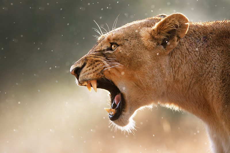 Photograph Lioness in a rainstorm by Johan Swanepoel on 500px