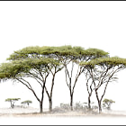 Five Acacia Tortilis. Available as Archival canvas or paper.