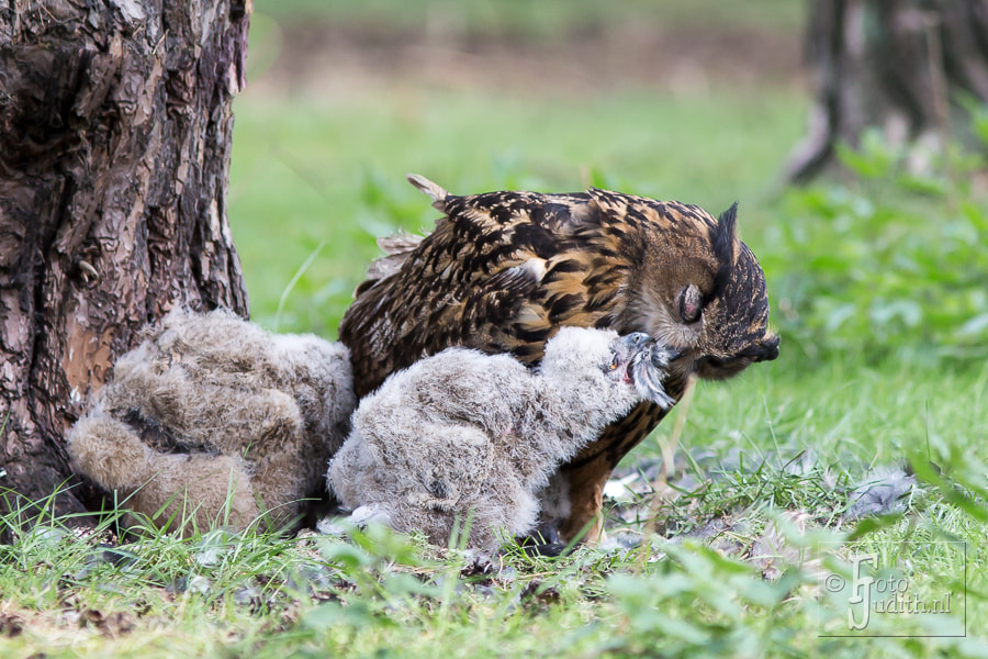 Photograph Eagle Owl with chicks by Judith Borremans on 500px