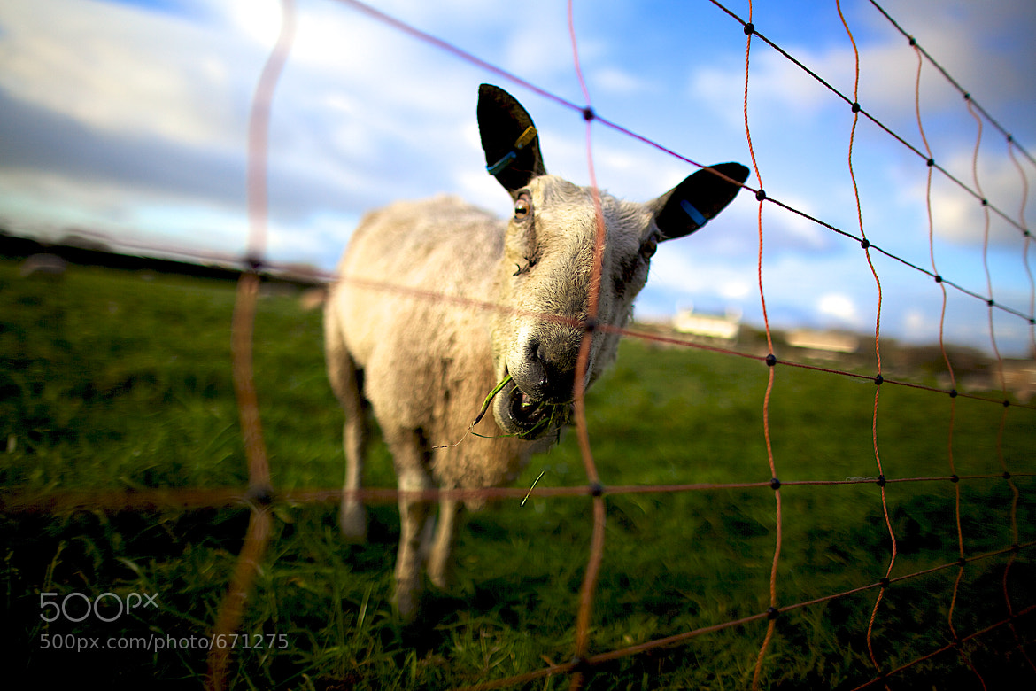 Photograph Crazy Sheep by Mark Stephenson on 500px