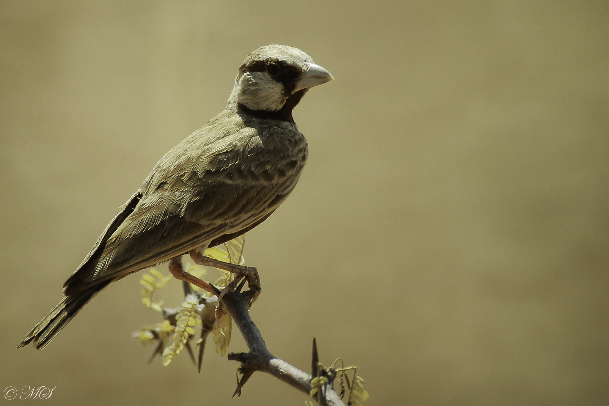 Photograph ASHY-CROWNED SPARROW LARK by Mayank Singh on 500px