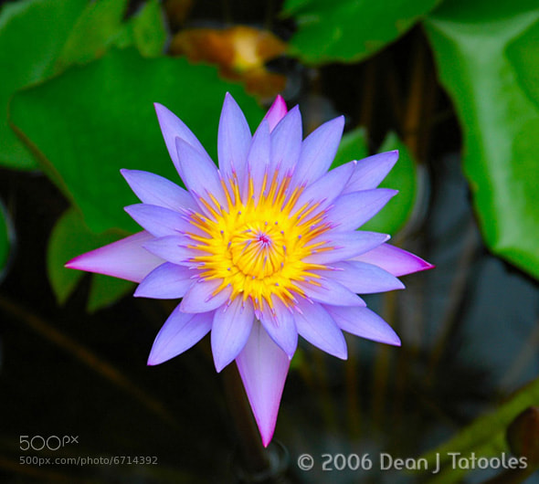 Photograph Violet Lily by Dean Tatooles on 500px
