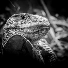 Krokodilteju | racaena guianensis