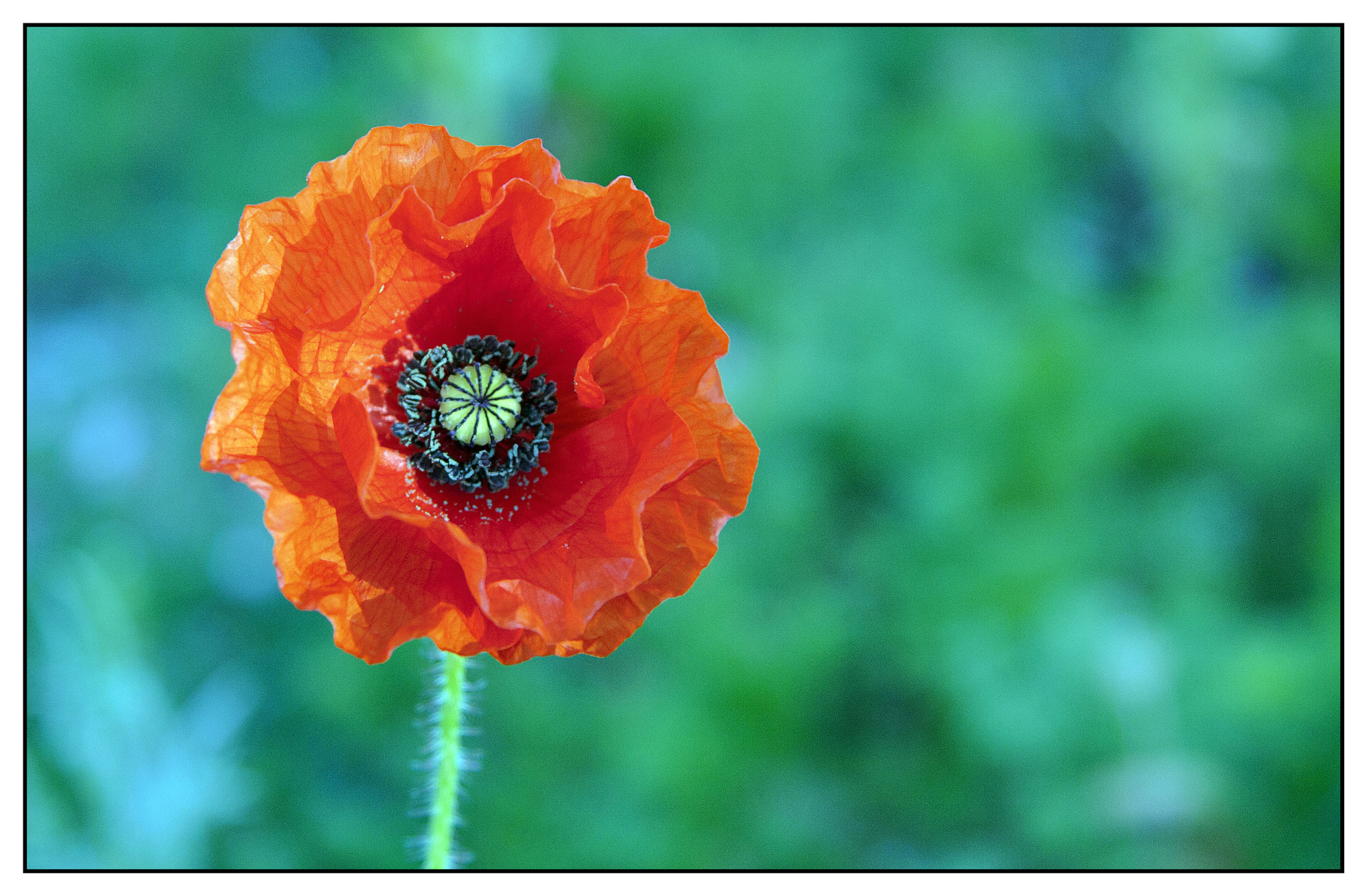 Photograph Poppy by Anoup Puri on 500px