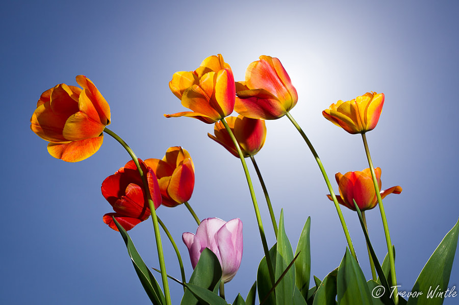 Tulips in Sunlight by Trevor Wintle on 500px.com