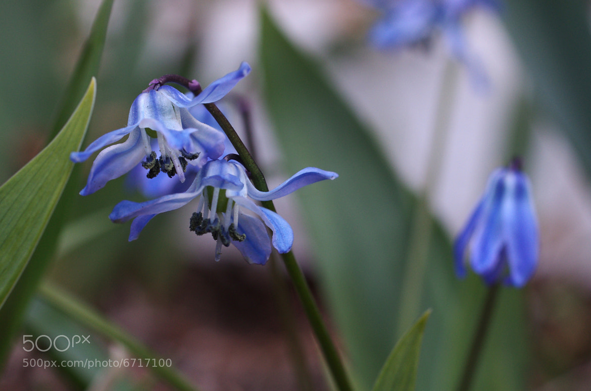 Photograph Scilla siberica by Francisco Marty on 500px