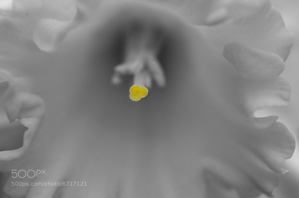 Photograph Daffodil 2/3 by Francisco Marty on 500px