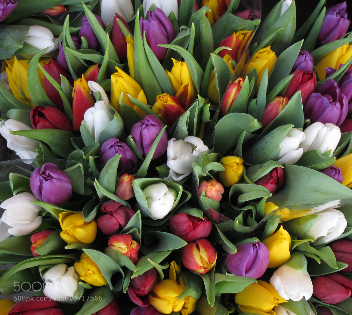Photograph Tulips For Sale by Robert Williams on 500px