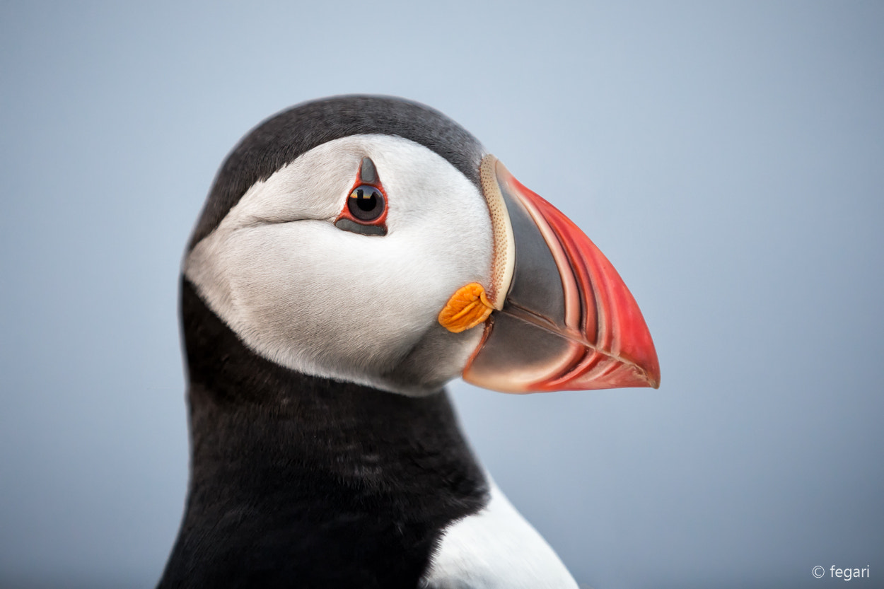 Photograph Puffins by fegari . on 500px